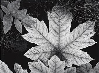 leaves ansel adams est 9k to 12k