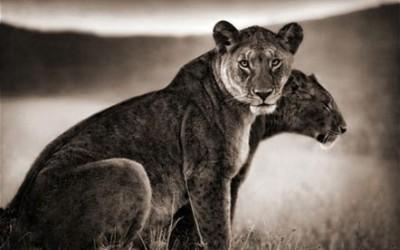 lioness nick brandt