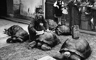polishing-the-turtles-at-the-london-zoo 1946