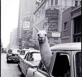 llama times sq 1957 inge morath