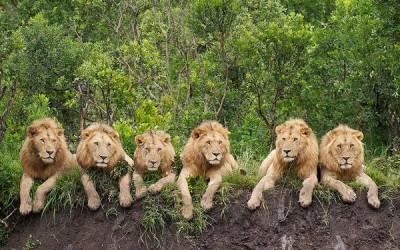 lions daniel dolpire